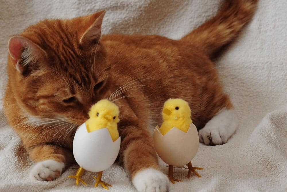 cat-with-chicken