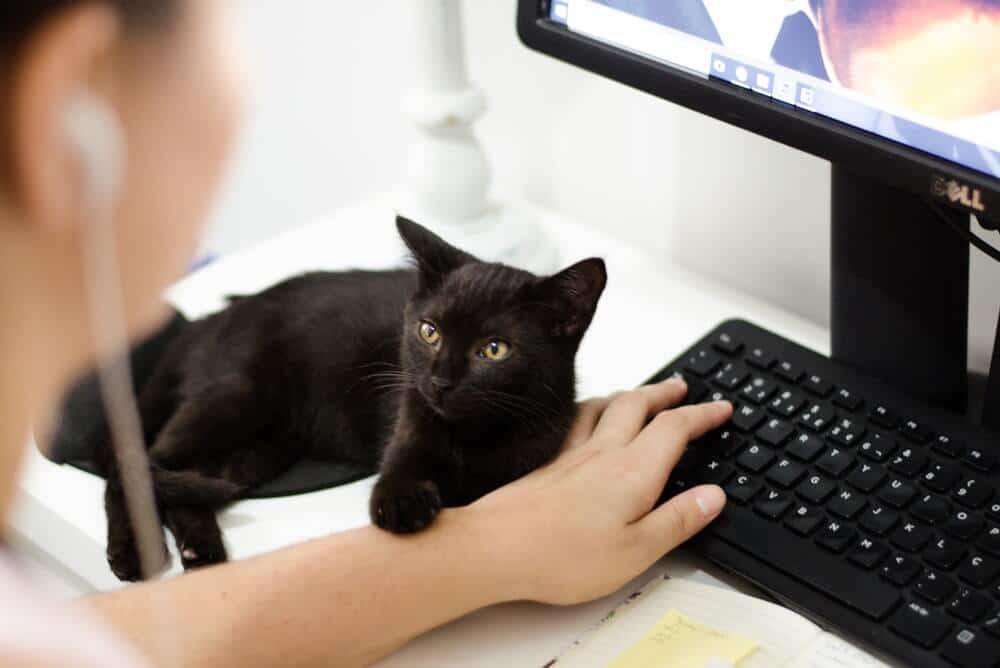 Indoor Healthy Black Cat To Prevent Worms