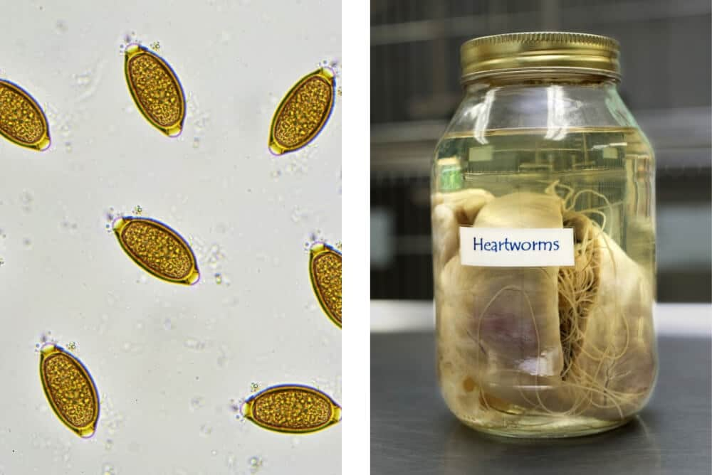 How to Deworm a Cat - Whipworms and Heartworms